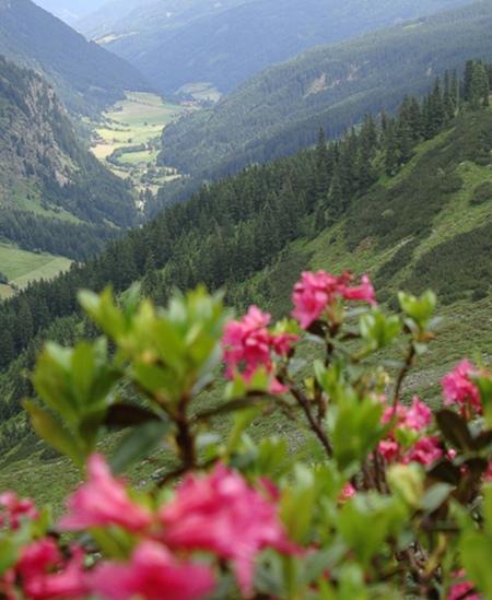Alpenrosen in Ratschings