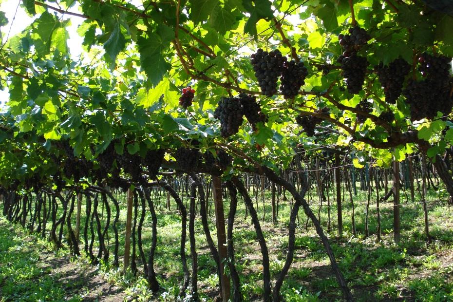 Weintrauben Kaltern